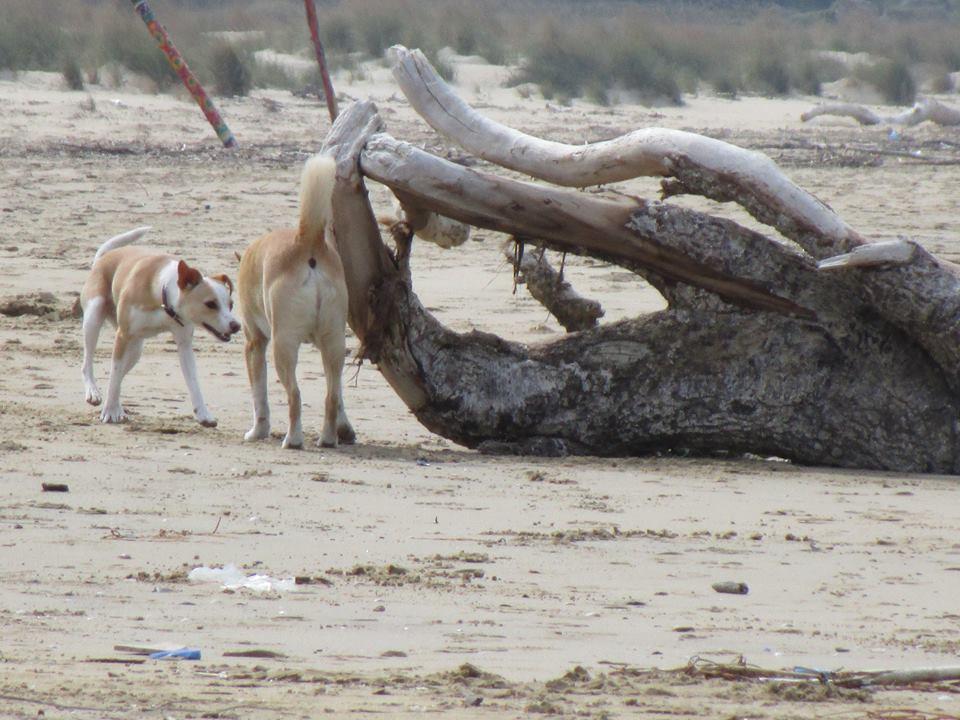 Due cani senza guinzaglio, in spiaggia